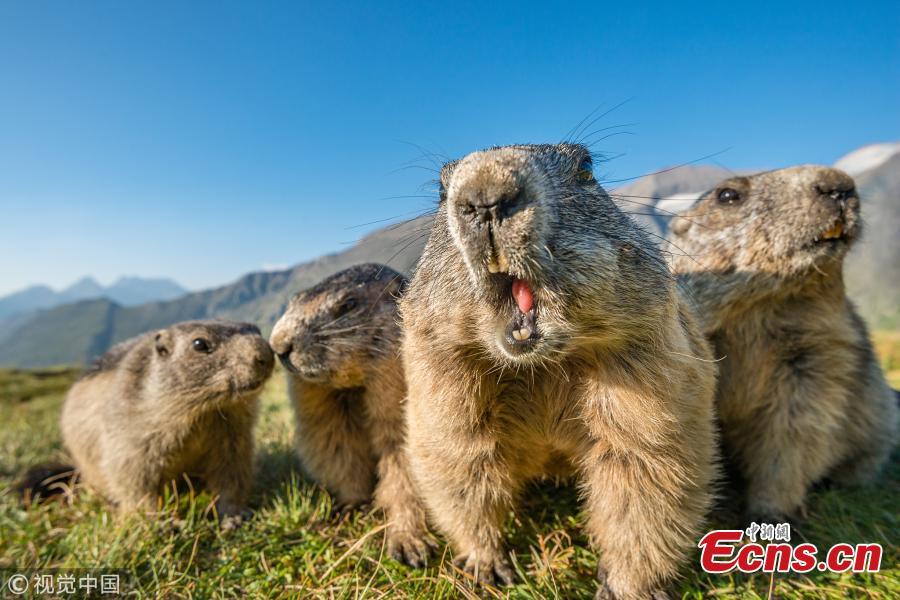 Alpine marmots (Marmota marmota) on rocks, National Park Hohe Tauern, Austria. (Photo/VCG)