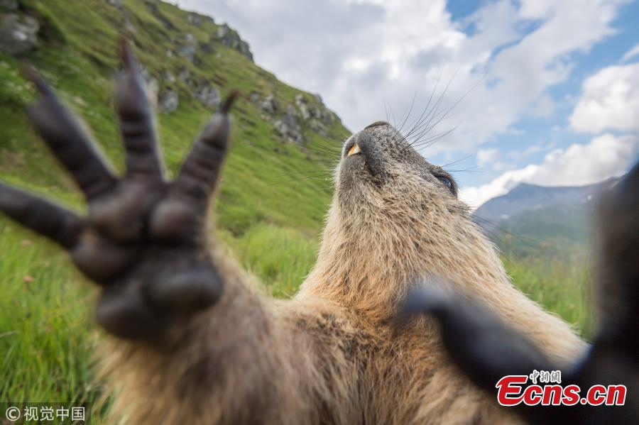 <?php echo strip_tags(addslashes(An Alpine marmot at the National Park Hohe Tauern, Austria. (Photo/VCG))) ?>