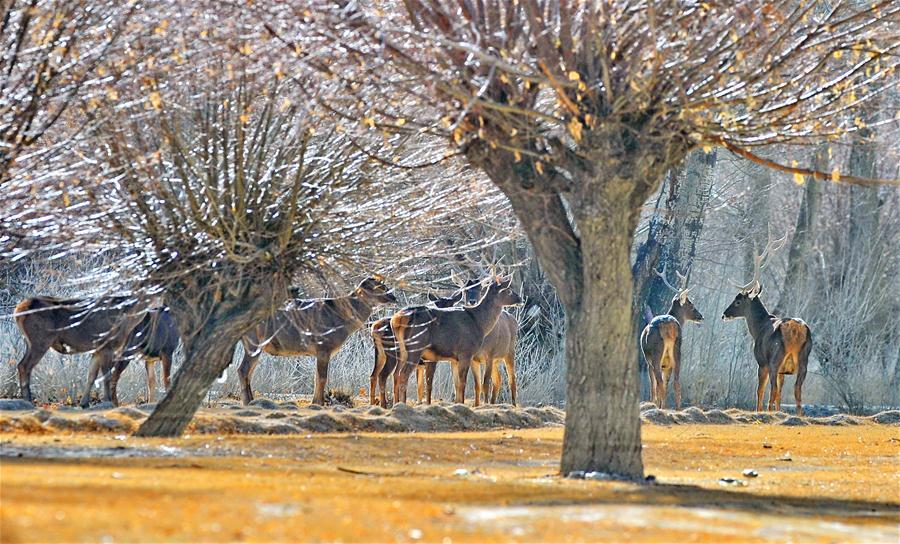 Photo taken on Jan. 6, 2018 shows red deers at an artificial forest in Shannan City, southwest China\'s Tibet Autonomous Region. (Xinhua/Zhang Rufeng)