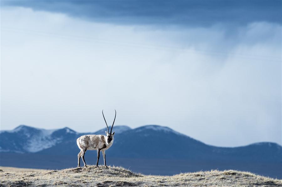 Photo taken on May 19, 2015 shows a Tibetan antelope in Hoh Xil, northwest China\'s Qinghai Province.(Xinhua/Wu Gang)