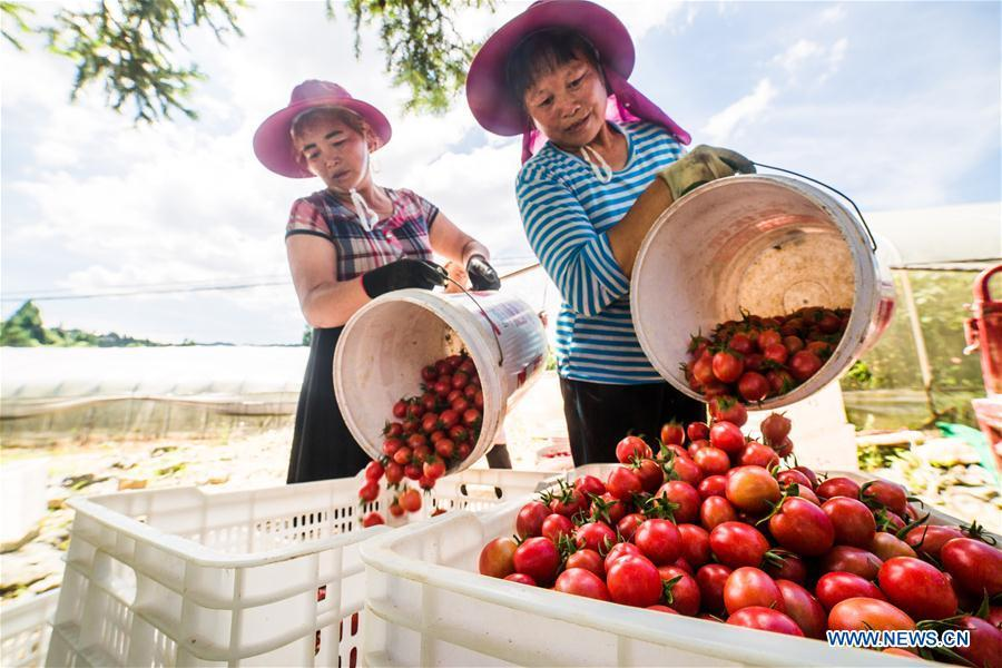 Farmers busy harvest cherry tomatoes in Dafang County of Bijie, southwest China\'s Guizhou Province, July 18, 2018. Farmers in Bijie County are busy collecting cherry tomatoes during the harvest season. (Xinhua/Luo Dafu)