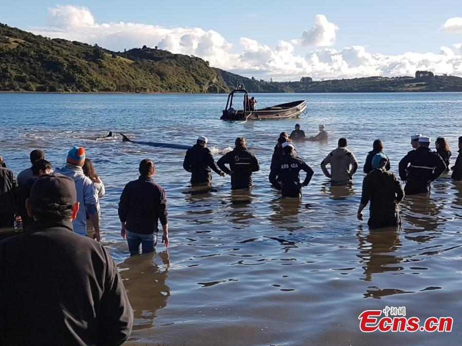 Photo taken on July 17, 2018 shows the Chilean National Fisheries and Aquaculture Service and the Chilean Navy managed to return a Sei whale weighing about two tons to the sea, after it was found beached on Chiloé Island, in the south of the country. (Photo/IC)