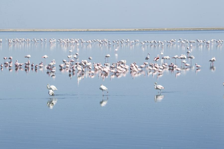 Chinese photographer Zhu Jianqiang captured flamingos eating, flying and resting in a lake near Walvis Bay in Namibia when he traveled there for a visit in June 2018. (Photos: Courtesy of Zhu Jianqiang)