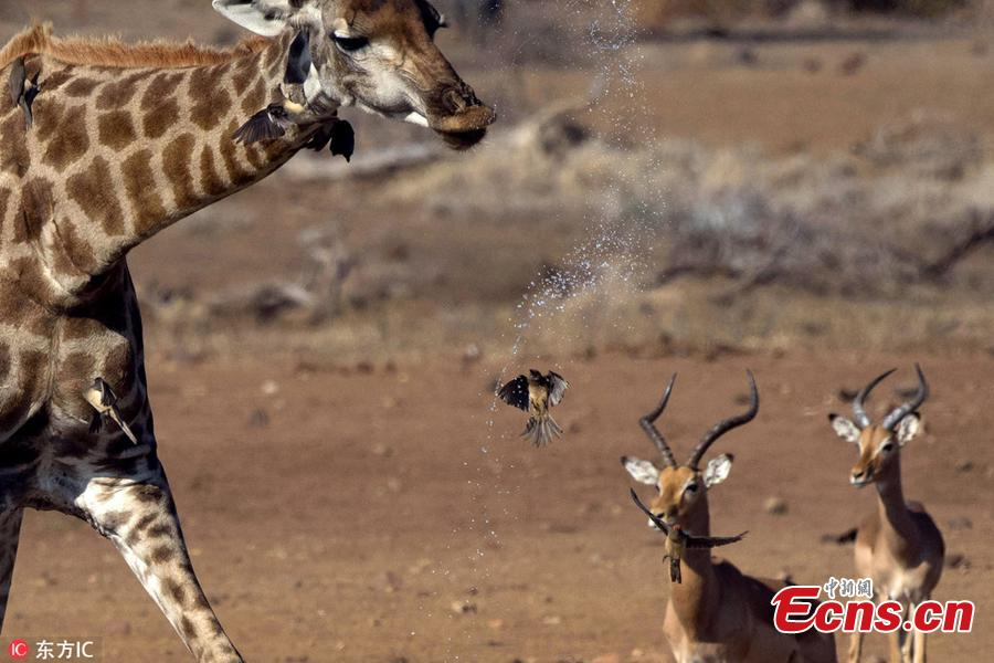 Snaps taken by wildlife photography safari guide and tour operator, Bernhard Bekker, shows an Oxpecker was soaked while flying underneath the drinking giraffe just as water spilled out of its mouth, at Kruger National Park in South Africa. The 41-year-old said the bird was caught in the water spray and looked like it was taking a shower intentionally as it was a very hot day. (Photo/IC)