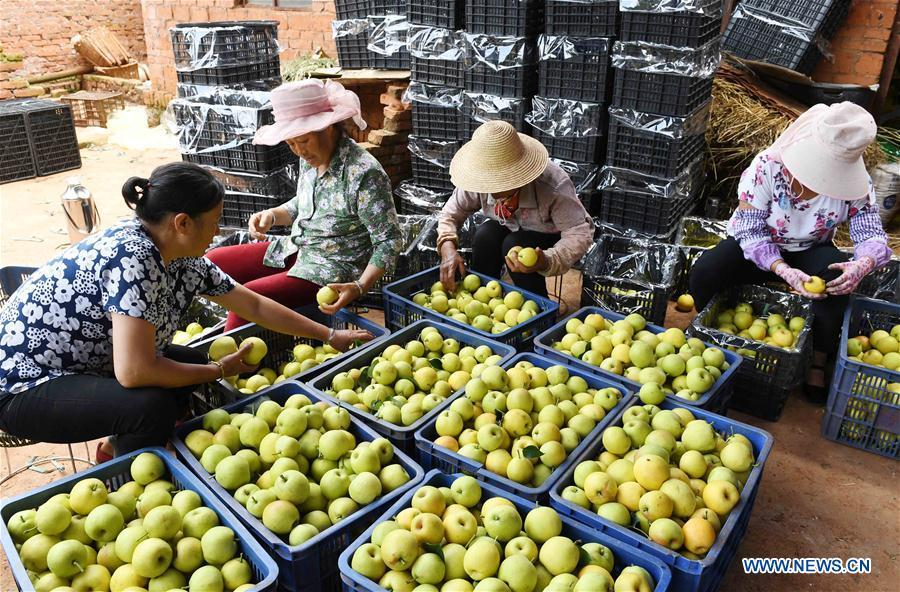 Farmers sort pears in an orchard in Xundian Hui and Yi Autonomous County, southwest China\'s Yunnan Province, July 20, 2018. (Xinhua/Yang Zongyou)