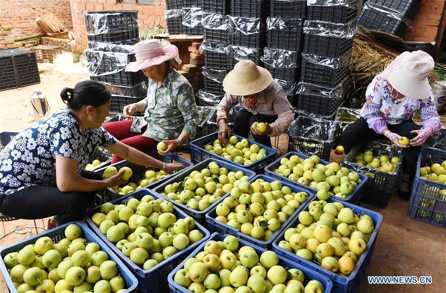 Farmers sort pears in an orchard in Xundian Hui and Yi Autonomous County, southwest China\'s Yunnan Province, July 20, 2018. (Xinhua/Yang Zongyou)