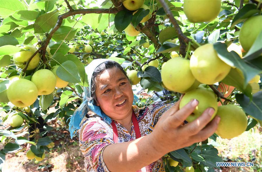 A farmer picks a pear at an orchard in Xundian Hui and Yi Autonomous County, southwest China\'s Yunnan Province, July 20, 2018. (Xinhua/Yang Zongyou)