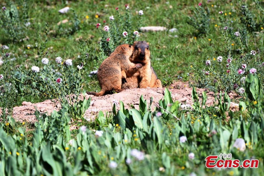 Photo shows marmots. (Photo provided to China News Service)