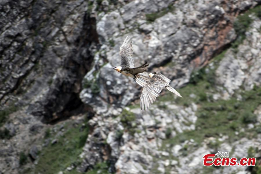 Photo taken by Wu Yigan shows a Bearded Vulture.(Photo provided to China News Service)