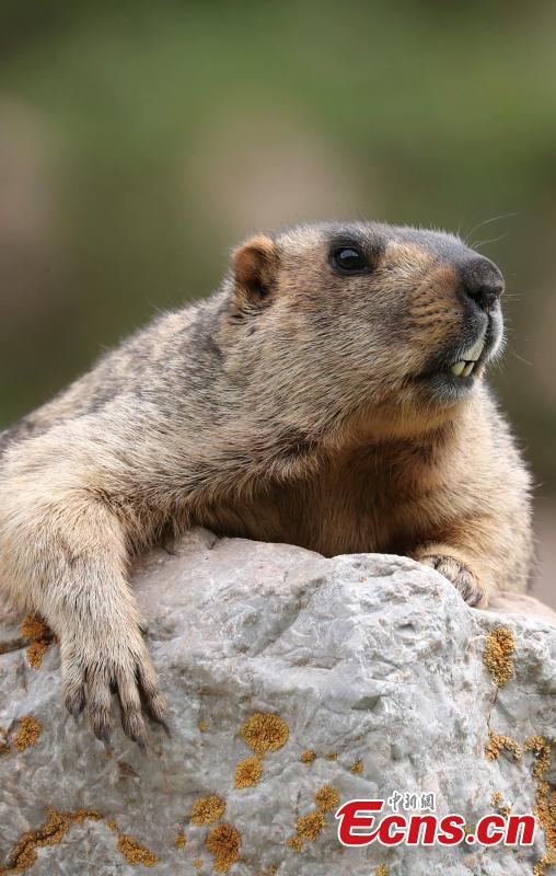 Photo taken by Wei Ye shows a Himalayan marmot. (Photo provided to China News Service)