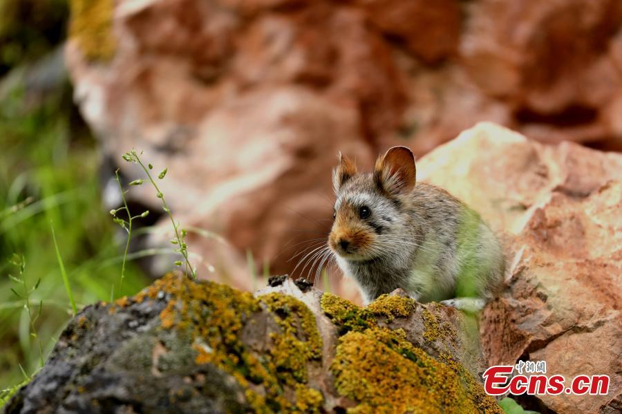 Photo taken by Ge Zengming shows a Glover\'s pika endemic to China. (Photo provided to China News Service)  Contestants from many countries submitted over 1,600 photos to the Angsai International Nature Observation Festival, including animals and plants, according to the organizers. The Angsai Grand Canyon is located at the riverhead area of the Lancang River, home to plants resistant to cold temperatures. In the festival, 54 participants in 18 teams observed nature in a designated area in Angsai Township, Zadoi County of Qinghai Province, under the guidance of local nomads, and then recorded their findings.