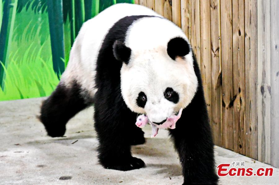 Giant panda Longlong holds her newborn cub in her mouth at Chimelong Safari Park in Guangzhou City, Guangdong Province, July 25, 2018. Longlong was born in July 31, 2013 in Guangzhou, the first born in southern China, and then was moved back to Wolong in Sichuan Province for mating with a male giant panda in February. Longlong gave birth to a male cub on July 21. (Photo: China News Service/Chen Jimin)