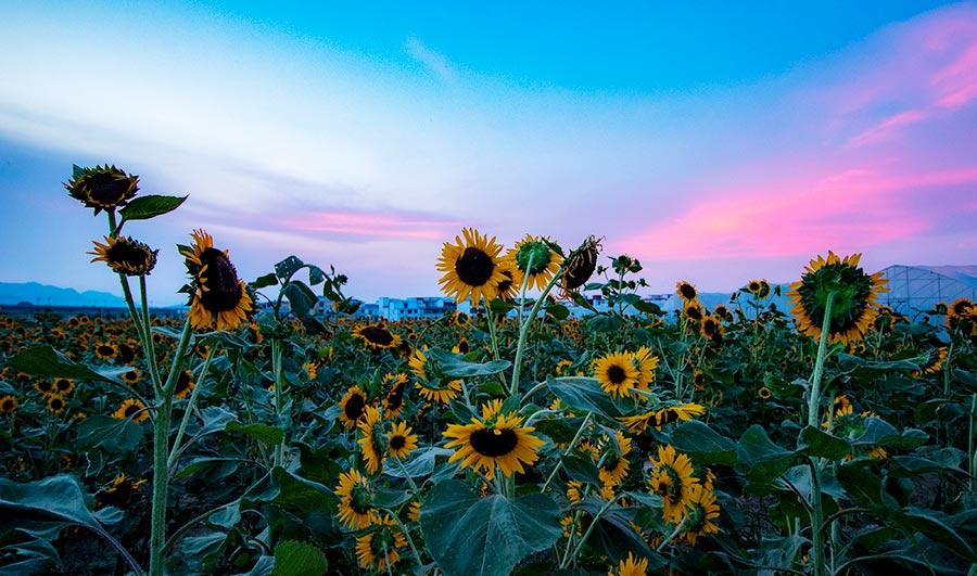 Many visitors were spotted lingering in the sea of sunflowers, zinnias, cosmos and other flowers under the glow of the evening glow in Xinyu county, Jiangxi Province on July 22, 2018. (Photo/China Daily)