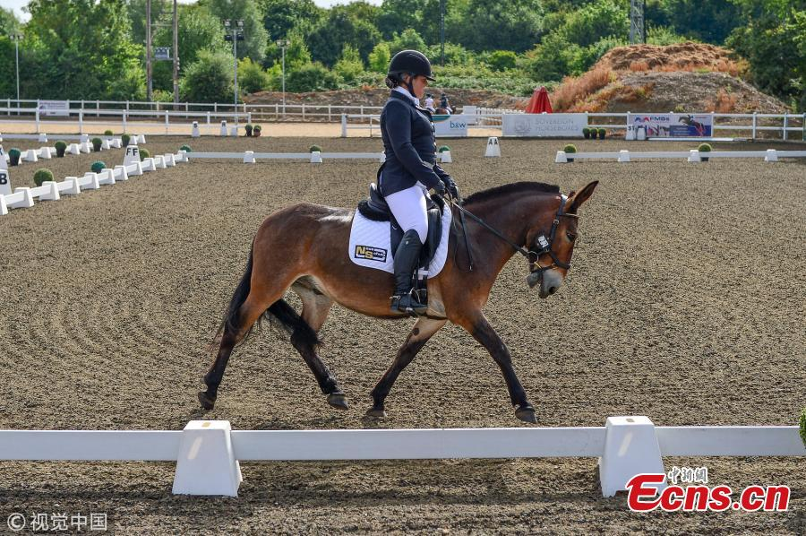 Wallace, with owner Christie McLean, is the first mule to win a British dressage event and did so during the first time that the half-donkey, half-horse animals were allowed to take part. (Photo/VCG)
