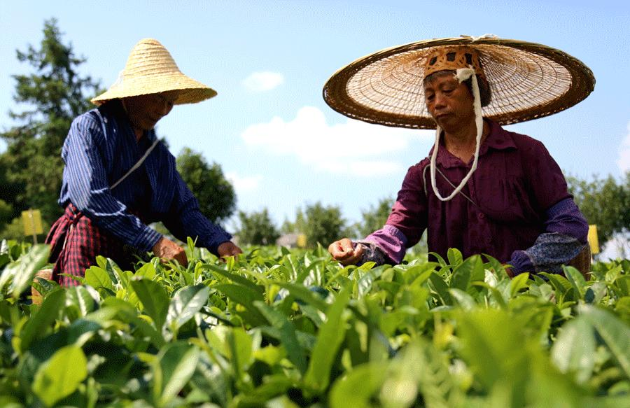 Residents of villages in Meitan pick green-tea leaves. (YANG JUN/CHINA DAILY)