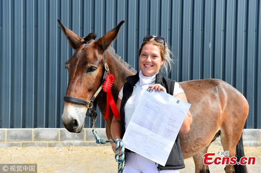 For the first time ever in the UK, Wallace the Great competed in a British Dressage Quest Club competition, held at Summerhouse Equestrian, Gloucestershire on July 22, 2018 ? and beat eight full-horse competitors. Wallace, aged 11, lives in Dursley, Gloucestershire, with two donkeys and another mule who was so badly abused it could not be ridden. (Photo/VCG)