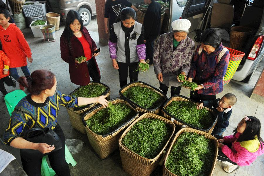 Residents of villages in Meitan and Zheng\'an counties sell freshly picked green-tea leaves. (Photo/Xinhua)