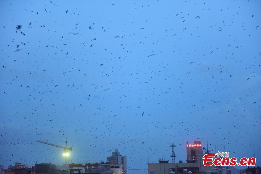 Flocks of swallows fly in the sky at sunset in Jiaji Town, Qionghai City, South China's Hainan Province, July 25, 2018. (Photo: China News Service/Meng Zhongde)