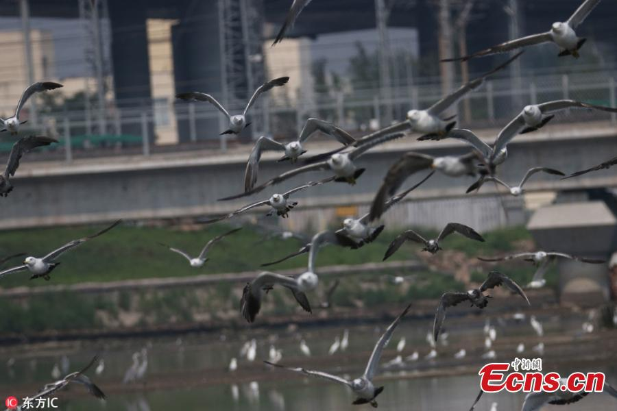 A high-speed train passes as a flock of sea birds soar in the sky in Qingdao City, East China's Shandong Province, July 25, 2018. (Photo/IC)