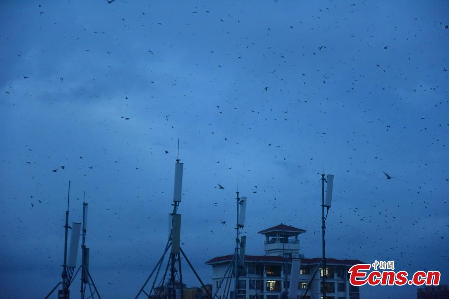 Flocks of swallows fly in the sky at sunset in Jiaji Town, Qionghai City, South China's Hainan Province, July 25, 2018. (Photo: China News Service/Meng Zhongde)