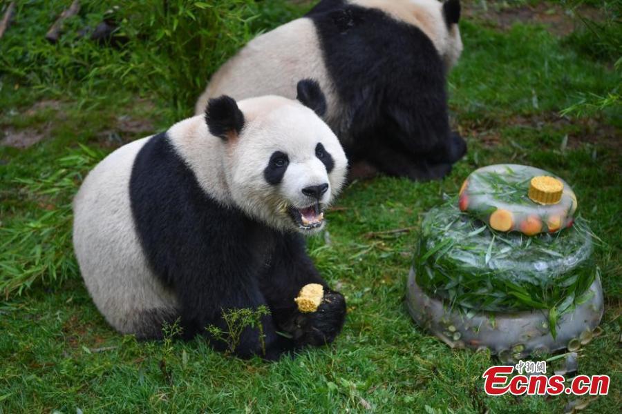 Giant panda Mao Zhu enjoys a special cake made for its 4thbirthday celebration at Yunnan Wildlife Zoo in Kunming City, Southwest China's Yunnan Province, July 26, 2018. (Photo: China News Service/Liu Ranyang)