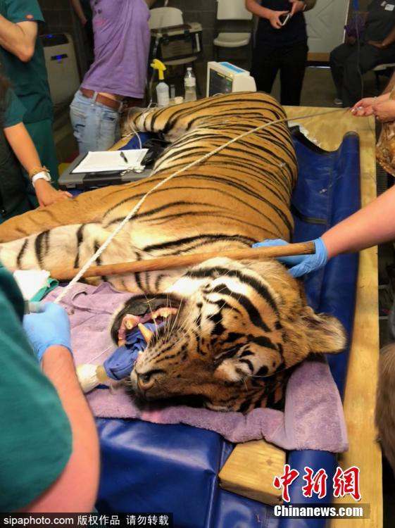 Tio the tiger gets three root canals on fractured teeth at Carolina Tiger Rescue on July 21, 2018. Volunteer veterinary dentists from the Peter Emily International Veterinary Dental Foundation in Colorado traveled to Pittsboro to perform procedures on four big cats at no cost to the rescue. (Photo/Sipaphoto)