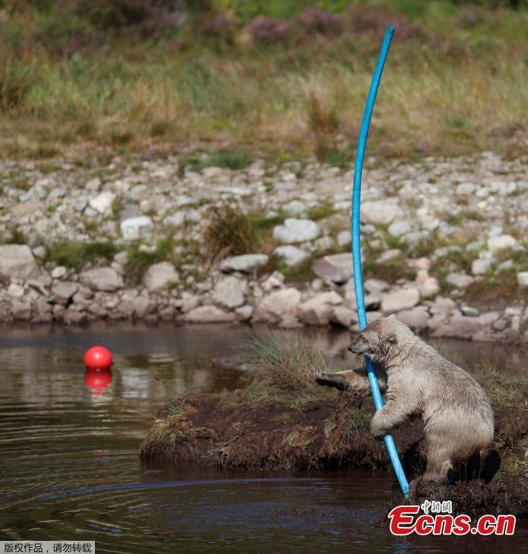 Hamish the first polar bear cub to be born in the UK for 25 years cools down in the pond in his enclosure at The Highland Wildlife Park near Kingussie, Scotland, Britain July 26, 2018.(Photo/Agencies)