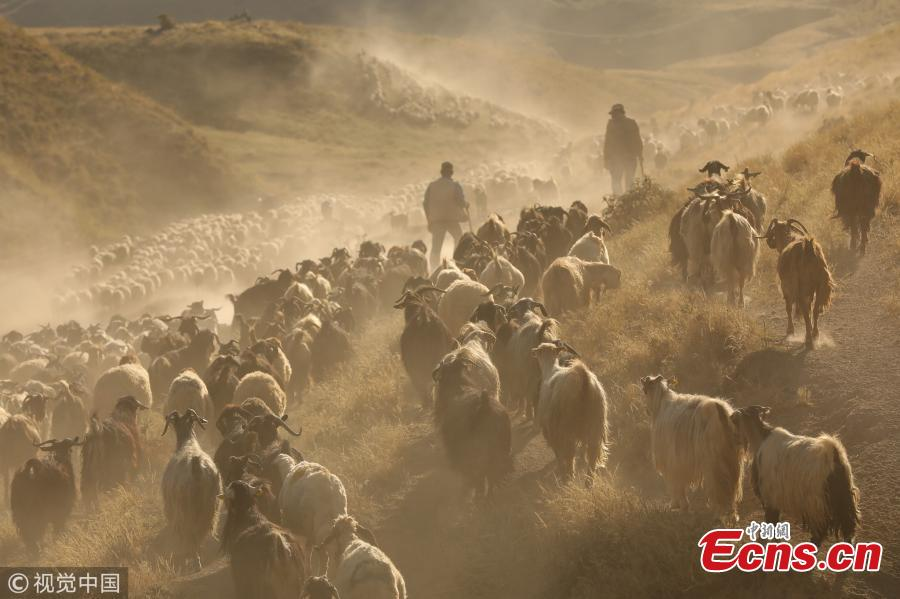 Sheep, brought by shepherds for pasturing to Kiyiduzu village, travel among the dust through the foothills of Mount Nemrut during sunset in Tatvan district of Bitlis, Turkey, July 26, 2018. (Photo/VCG)