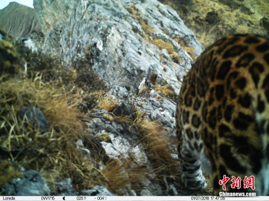 An image taken by an infrared camera shows a leopard in the Muxiangpo area, 4,080 meters above sea level, in the Wolong Natural Reserve in Sichuan Province. It is the first time in 30 years a leopard has been found in the reserve, a core part of the Sichuan giant panda sanctuaries. Infrared cameras also caught images of snow leopards and three black bears cubs in the same frame.  (Photo: China News Service/Zhong Xin)
