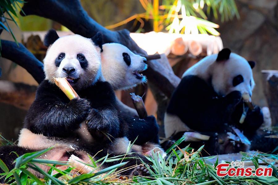 Panda triplets Meng Meng, Shuai Shuai and Ku Ku celebrate their fourth birthday in Chimelong Safari Park, Guangzhou City, Guangdong Province, July 29, 2018. The three bears are the world\'s first healthy panda triplet cubs. (Photo: China News Service/Chen Jimin)