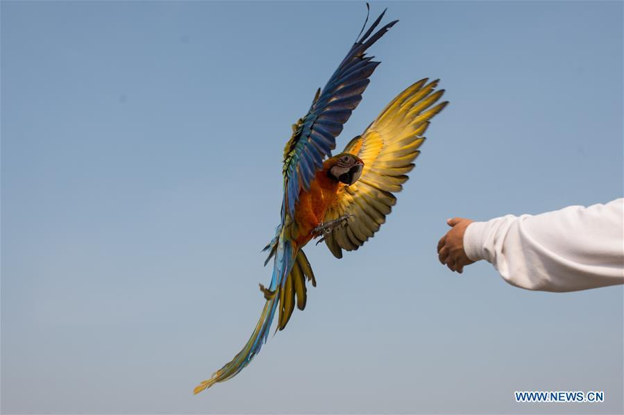 A macaw parrot practices free fly at Bumi Serpong Damai district, South Tangerang in Indonesia, July 29, 2018. (Xinhua/Veri Sanovri)