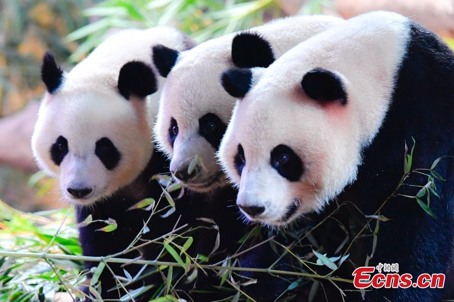 Panda triplets Meng Meng, Shuai Shuai and Ku Ku celebrate their fourth birthday in Chimelong Safari Park, Guangzhou City, Guangdong Province, July 29, 2018. The three bears are the world\'s first healthy panda triplet cubs. (Photo: China News Service/Chen Jimin)