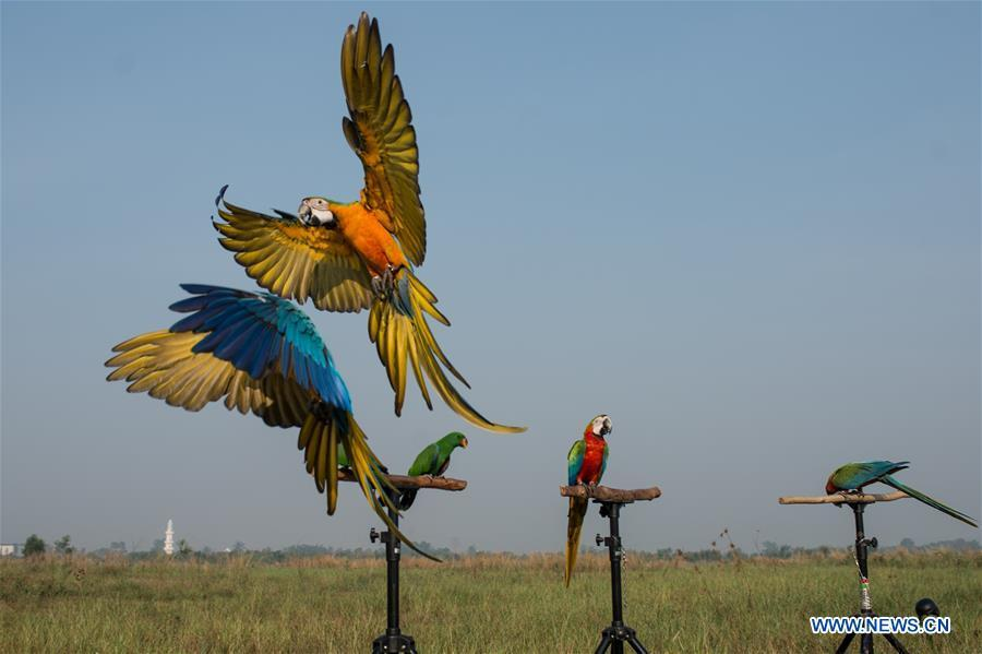 Macaw parrots practice free fly at Bumi Serpong Damai district, South Tangerang in Indonesia, July 29, 2018. (Xinhua/Veri Sanovri)