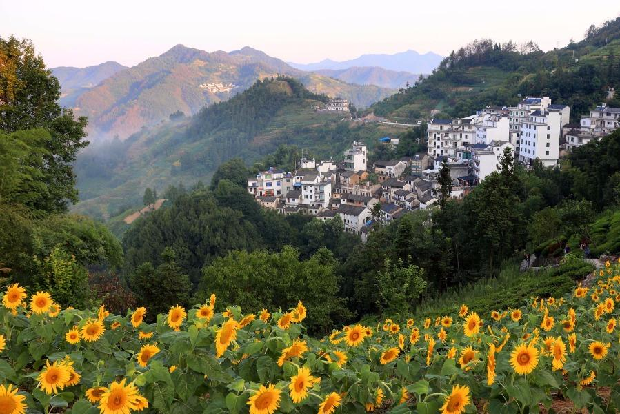 Blossoming sunflowers are seen amid the mountains in Shitan ancient village, She county, Anhui province, July 29, 2018. Villagers have sunflowers planted around their houses and along both sides of the road, creating a bright attraction for visitors.  (Photo/Asianewsphoto)