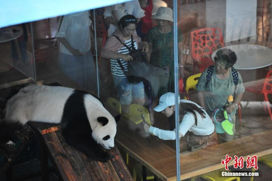 A giant panda rests in an air-conditioned room at a zoo in Shenyang, capital of Northeast China\'s Liaoning province on July 30, 2018. Temperature of the city rose to 36 degrees Celsius on Monday. (Photo: China News Service/Yu Haiyang)