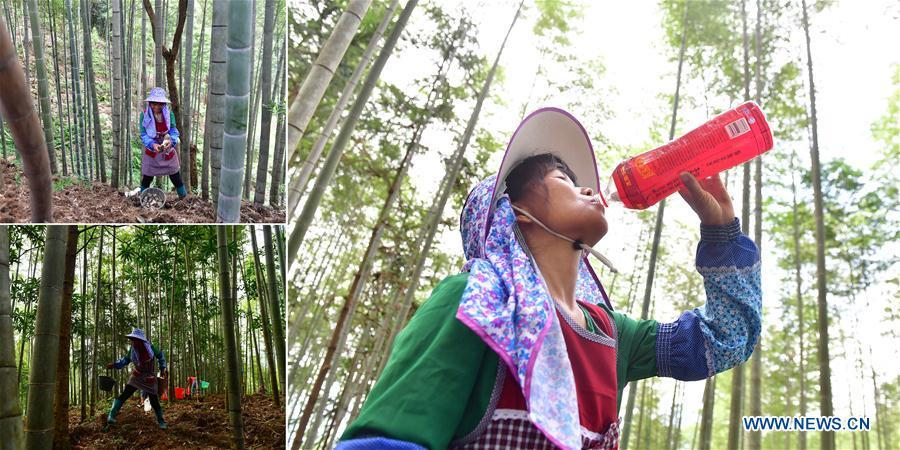 The combined photo taken on July 27, 2018 shows Jia Xiuqin, an impoverished villager, collects bamboo fungus (L, top and bottom) and drinks water during the break (R) in Rongshui Miao Autonomous County, south China\'s Guangxi Zhuang Autonomous Region. Due to harsh environmental conditions, Rongshui has long been a less developed area in China. Up to now, there are still 76,800 impoverished people living in the county. In recent years, the local government carries out effective methods for poverty alleviation, helping local people to build roads, repair houses, improve education and develop industry. (Xinhua/Huang Xiaobang)