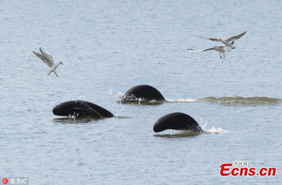 A file photo of Yangtze finless porpoises in Poyang Lake. The total amount of highly endangered Yangtze finless porpoises has been estimated at approximately 1,012, down from previous years, according to the Ministry of Agricultural and Rural Affairs. Of the Yangtze finless porpoises, approximately 457 were in Poyang Lake, China\'s biggest freshwater lake. (Photo/IC)