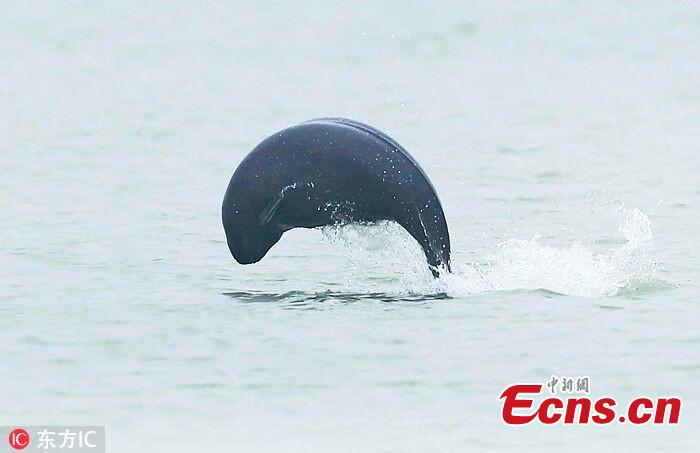 A file photo of a Yangtze finless porpoise in Poyang Lake. The total amount of highly endangered Yangtze finless porpoises has been estimated at approximately 1,012, down from previous years, according to the Ministry of Agricultural and Rural Affairs. Of the Yangtze finless porpoises, approximately 457 were in Poyang Lake, China\'s biggest freshwater lake. (Photo/IC)