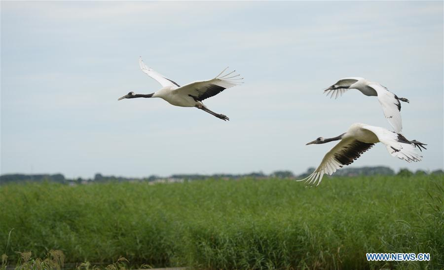 Red-crowned cranes fly over Zhalong National Nature Reserve in Qiqihar, northeast China\'s Heilongjiang Province, Aug. 1, 2018. Zhalong National Nature Reserve, covering 2,100 square kilometers, was set up in 1979 in a northeast China\'s reed wetland. It provides a major habitat for red-crowned cranes and other wildlife. (Xinhua/Wang Kai)