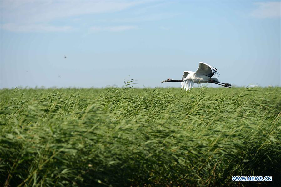 A red-crowned crane is seen flying at Zhalong National Nature Reserve in Qiqihar, northeast China\'s Heilongjiang Province, July 31, 2018. Zhalong National Nature Reserve, covering 2,100 square kilometers, was set up in 1979 in a northeast China\'s reed wetland. It provides a major habitat for red-crowned cranes and other wildlife. (Xinhua/Wang Kai)