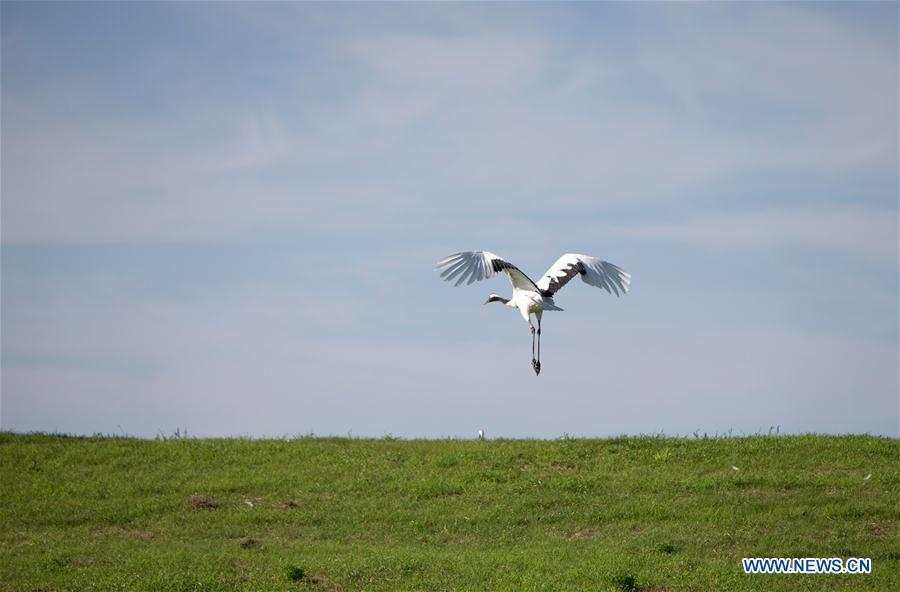 A red-crowned crane is seen flying at Zhalong National Nature Reserve in Qiqihar, northeast China\'s Heilongjiang Province, July 31, 2018. Zhalong National Nature Reserve, covering 2,100 square kilometers, was set up in 1979 in a northeast China\'s reed wetland. It provides a major habitat for red-crowned cranes and other wildlife. (Xinhua/Meng Chenguang)