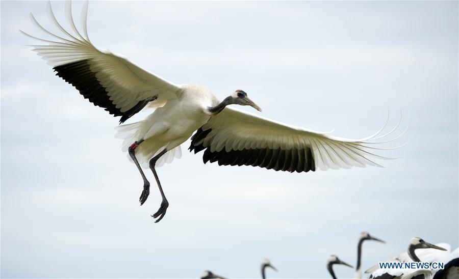 Red-crowned cranes are seen at Zhalong National Nature Reserve in Qiqihar, northeast China\'s Heilongjiang Province, Aug. 1, 2018. Zhalong National Nature Reserve, covering 2,100 square kilometers, was set up in 1979 in a northeast China\'s reed wetland. It provides a major habitat for red-crowned cranes and other wildlife. (Xinhua/Wang Kai)