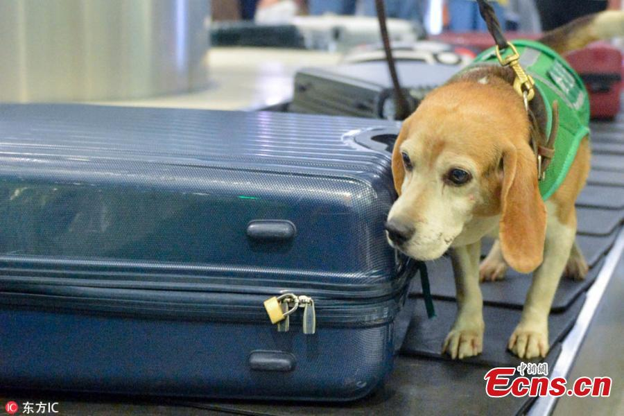 A sniffer dog works at the Hangzhou Xiaoshan International Airport in Hangzhou City, East China's Zhejiang Province. Customs authorities at the airport have six sniffer dogs to assist with quarantine inspections. (Photo/IC)
