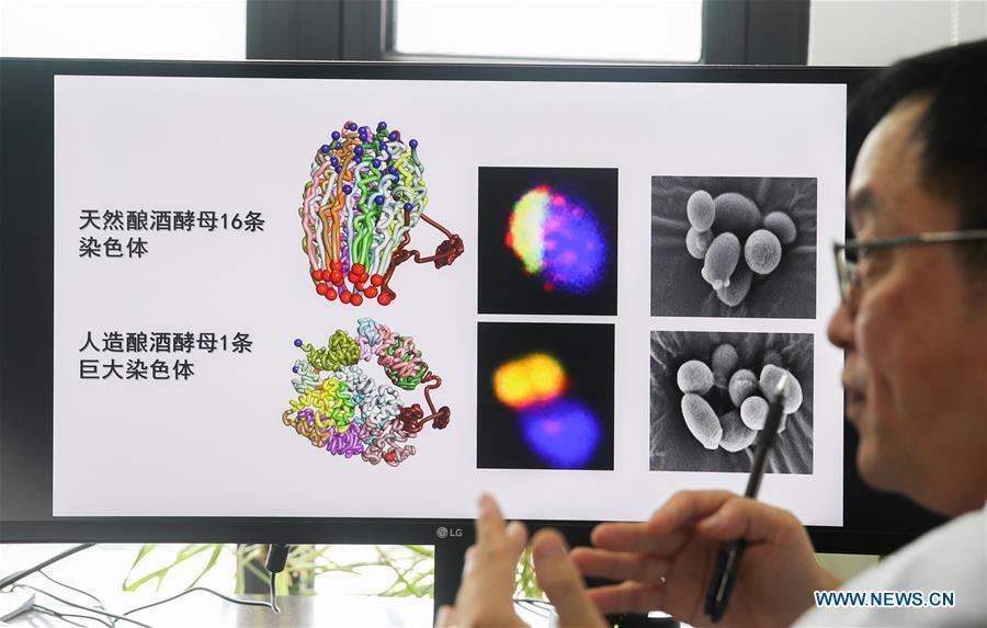 Qin Zhongjun, a molecular biologist at the Center for Excellence in Molecular Plant Sciences of the Shanghai Institute of Plant Physiology and Ecology under the Chinese Academy of Sciences, introduces his research in Shanghai, east China, July 31, 2018. Brewer\'s yeast, one-third of whose genome is said to share ancestry with humans, has 16 chromosomes. However, Chinese scientists have managed to fit nearly all its genetic material into just one chromosome while not affecting the majority of its functions, according to a paper released Thursday on the website of the journal Nature. Qin Zhongjun and his team used CRISPR-Cas9 genome-editing to create a single-chromosome yeast strain, the paper said. (Xinhua/Ding Ting)