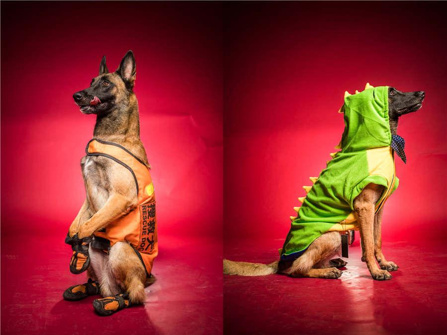 Rescue dog Badao wears a uniform and a fashionable hoodie. (Photo/Asianewsphoto)