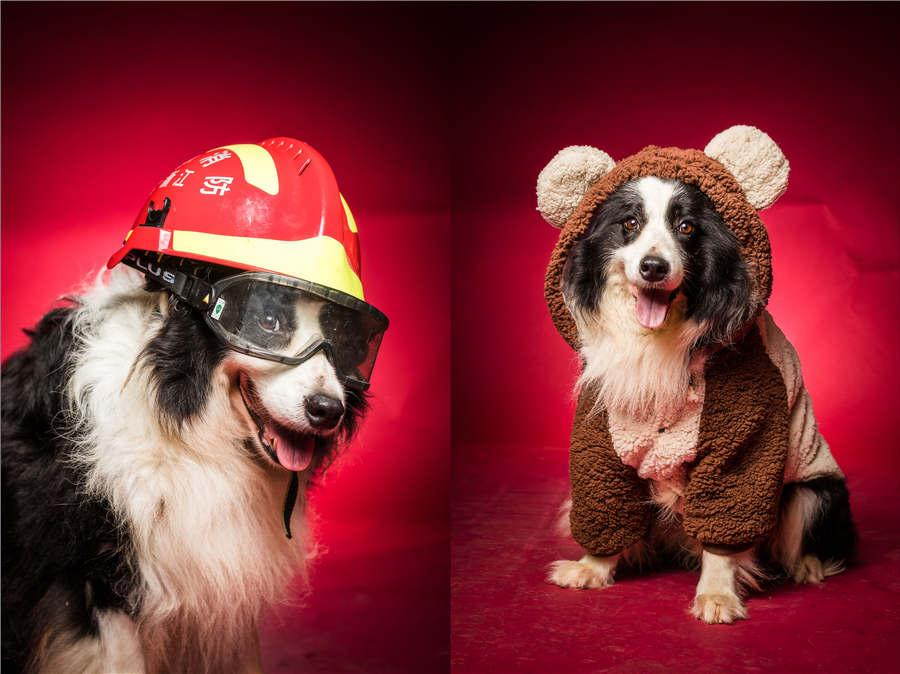 Rescue dog Liaoya, the oldest among the team with a service record spanning eight years, wears a firefighter\'s hat and an adorable rabbit outfit. (Photo/Asianewsphoto)