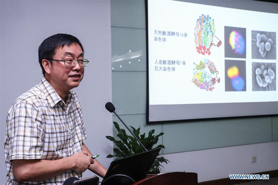 Qin Zhongjun, a molecular biologist at the Center for Excellence in Molecular Plant Sciences, Shanghai Institute of Plant Physiology and Ecology, of Chinese Academy of Sciences, introduces his research in Shanghai, east China, Aug. 2, 2018. Brewer\'s yeast, one-third of whose genome is said to share ancestry with a human\'s, has 16 chromosomes. However, Chinese scientists have managed to fit nearly all its genetic material into just one chromosome while not affecting the majority of its functions, according to a paper released Thursday on Nature\'s website. Qin Zhongjun and his team used CRISPR-Cas9 genome-editing to create a single chromosome yeast strain, the paper said. (Xinhua/Zhang Yuwei)