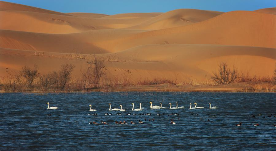 Birds swim at a desert lake in Kubuqi. (Photo/China Daily)