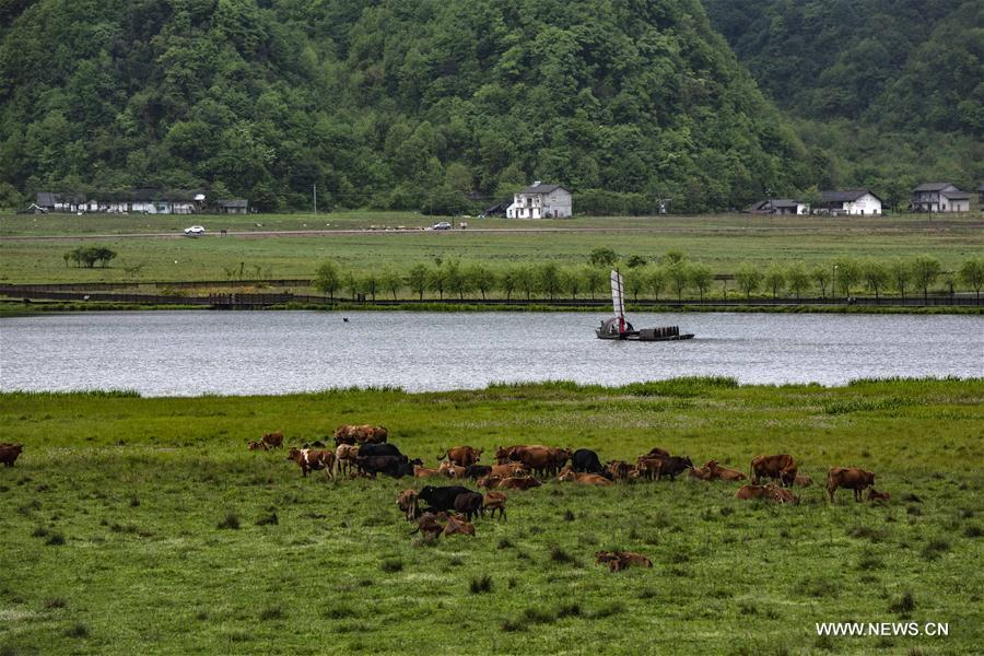 Cattle graze in Dajiuhu wetland in Shennongjia, central China\'s Hubei Province, May 18, 2018. (Xinhua/Du Huaju)
