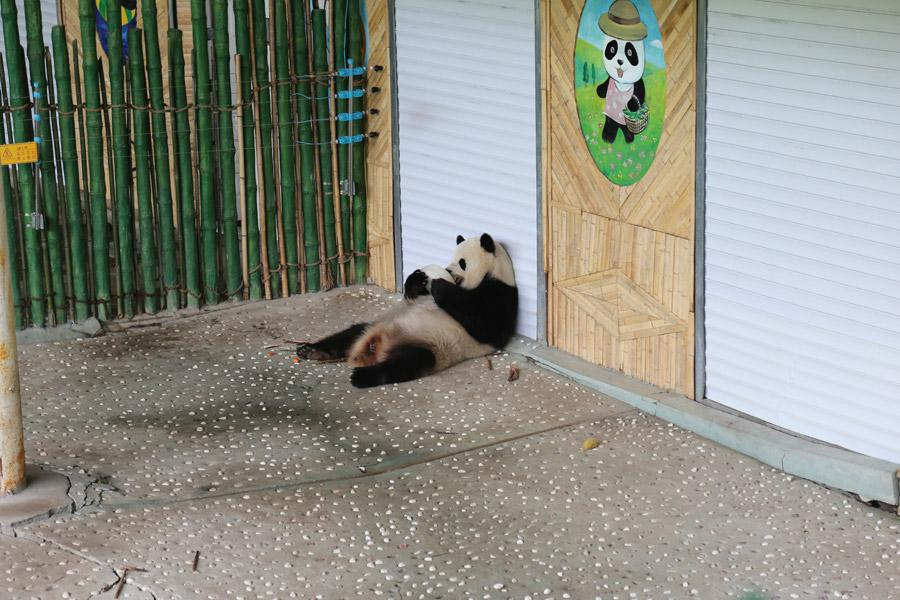 While the nation is experiencing sweltering temperatures, the giant pandas Youyou and Sijia are enjoying their literally cool life at the Yabuli ski resort in Northeast China\'s Heilongjiang Province. Heat relief in the scorching summer for the cute animals includes air conditioning, ice cubes, a bathing pool and various fresh fruits, provided by their handlers. (Photo provided to chinadaily.com.cn)